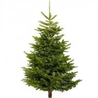 Nordmann Fir Real Tree 5-8 foot