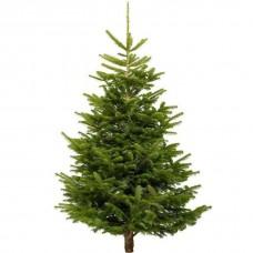 Nordmann Fir Real Tree 5-6 foot